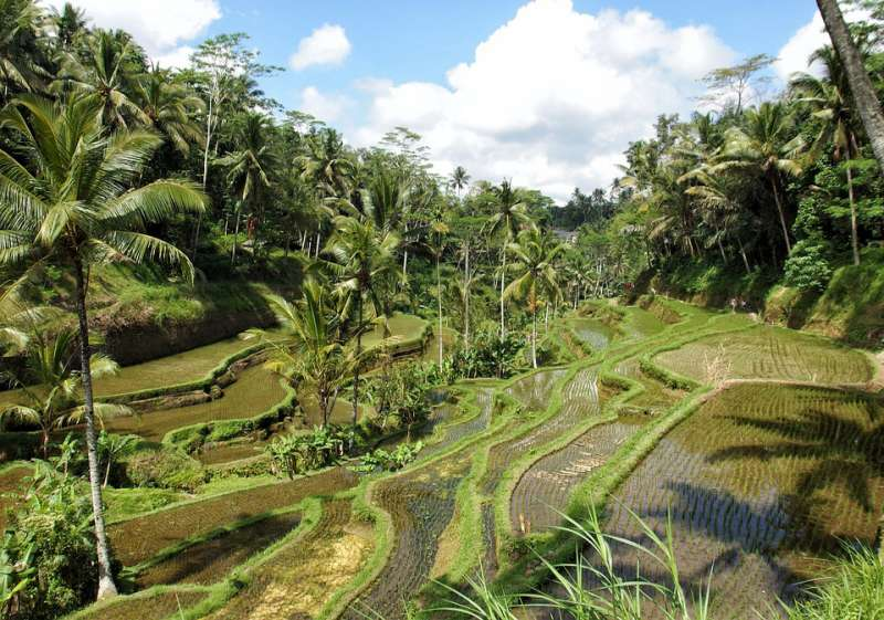 Ricefield in Ubud